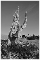 Bristlecone Pine squeleton, Mt Washington, sunrise. Great Basin National Park, Nevada, USA. (black and white)