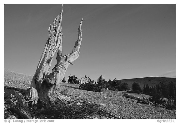 Barren slopes and dead bristlecone pine tree, Mt Washington, sunrise. Great Basin National Park (black and white)
