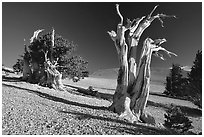 Bristlecone Pine trees, Mt Washington, early morning. Great Basin National Park, Nevada, USA. (black and white)