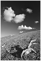 Tree squeleton and clouds on barren hill, morning. Great Basin National Park, Nevada, USA. (black and white)
