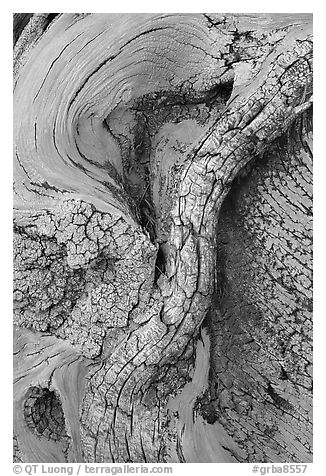 Bristlecone pine tree detail. Great Basin National Park (black and white)