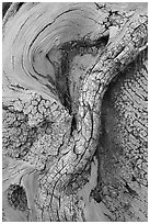 Bristlecone pine tree detail. Great Basin National Park, Nevada, USA. (black and white)