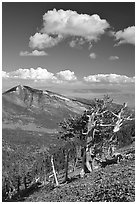 Bristlecone pine trees and Highland ridge, afternoon. Great Basin National Park, Nevada, USA. (black and white)