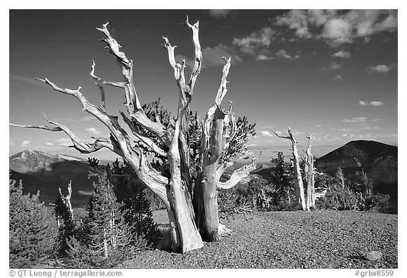 Tall Bristlecone pine trees, afternoon. Great Basin National Park (black and white)