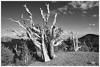 Tall Bristlecone pine trees, afternoon. Great Basin National Park, Nevada, USA. (black and white)