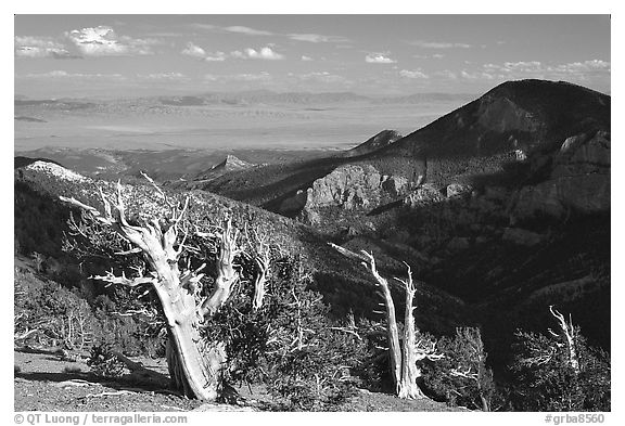 Bristlecone pine trees and Pole Canyon, afternoon. Great Basin National Park (black and white)