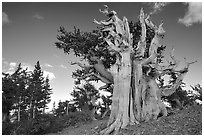 Old Bristlecone pine tree. Great Basin National Park, Nevada, USA. (black and white)