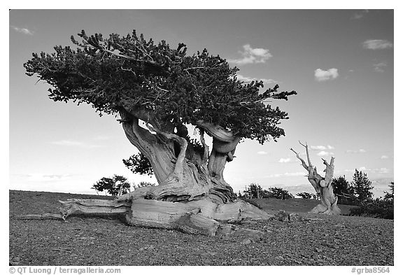 Twisted small Bristlecone pine tree. Great Basin National Park, Nevada, USA.
