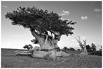Twisted small Bristlecone pine tree. Great Basin National Park, Nevada, USA. (black and white)