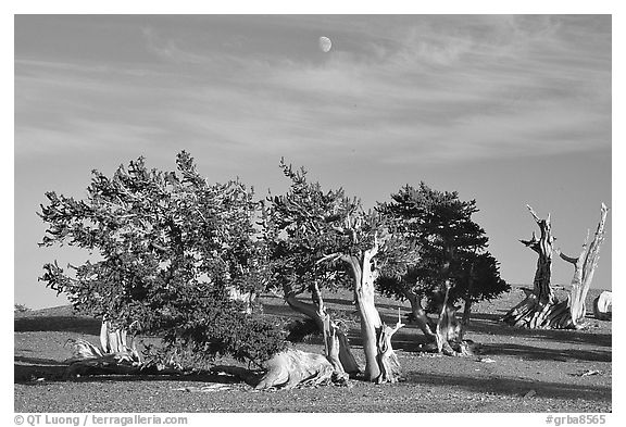 Bristlecone Pine trees and moon, late afternoon. Great Basin National Park (black and white)