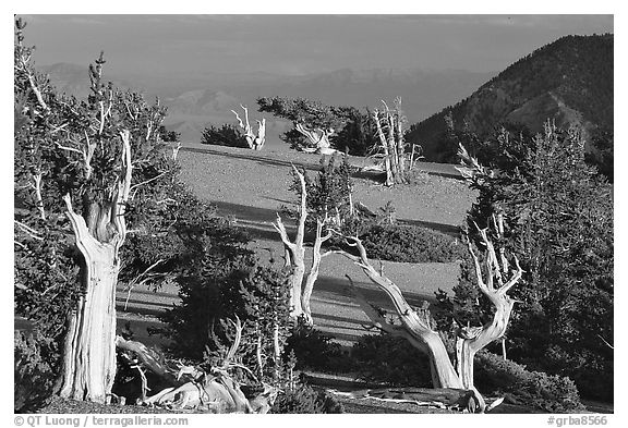 Grove of Bristlecone Pine trees, near Mt Washington late afternoon. Great Basin National Park (black and white)