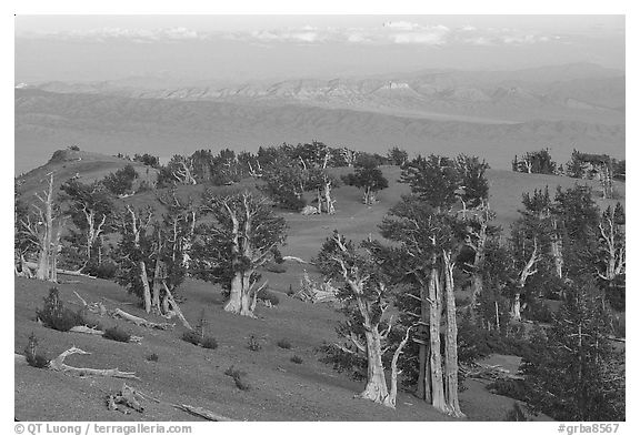 Bristlecone Pine trees grove, sunset. Great Basin National Park (black and white)
