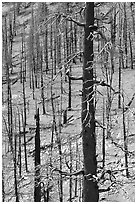 Slopes with burned forest. Great Basin National Park ( black and white)