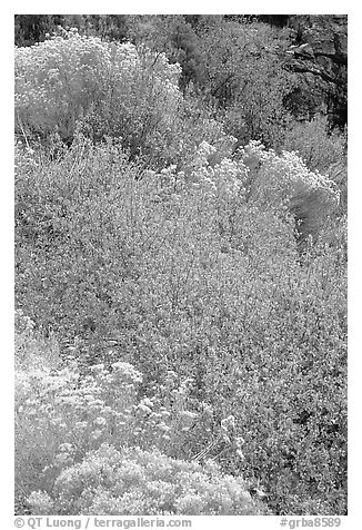 Sagebrush in bloom. Great Basin National Park (black and white)