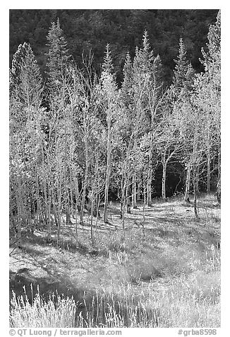 Aspens in fall color. Great Basin National Park (black and white)