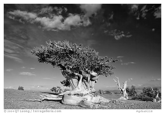Twisted Bristlecone pine tree with Bonsai shape. Great Basin National Park (black and white)