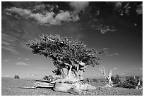 Twisted Bristlecone pine tree with Bonsai shape. Great Basin National Park, Nevada, USA. (black and white)