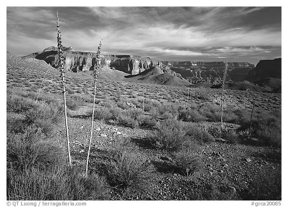Agave flower skeletons and mesas in Surprise Valley. Grand Canyon National Park, Arizona, USA.