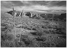 Agave flower skeletons and mesas in Surprise Valley. Grand Canyon National Park, Arizona, USA. (black and white)