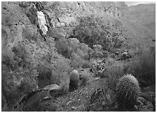 Barrel cacti and Thunder Spring, early morning. Grand Canyon National Park, Arizona, USA. (black and white)