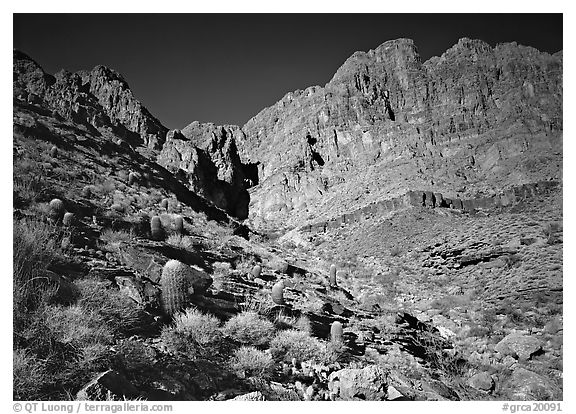 Barrel cactus and Redwall from below. Grand Canyon National Park (black and white)