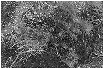 Ground close-up with flowers and gravel. Grand Canyon National Park ( black and white)