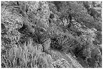 Pinyon pine and juniper zone vegetation zone. Grand Canyon National Park ( black and white)