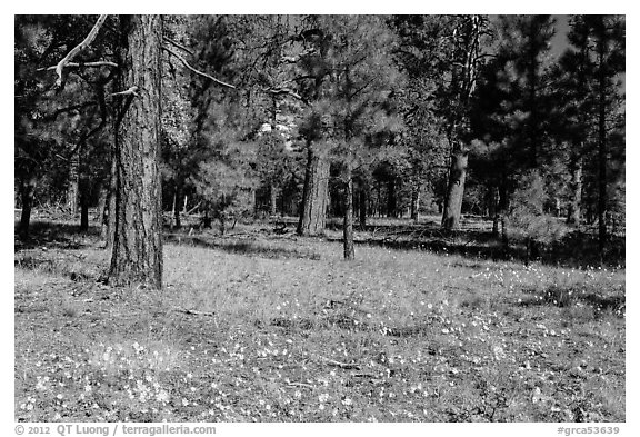 Flowers in Ponderosa pine forest. Grand Canyon National Park (black and white)
