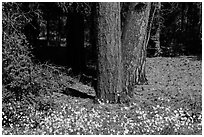 Flowers and Ponderosa pine tree trunks. Grand Canyon National Park, Arizona, USA. (black and white)