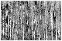 Bare aspen trees on hillside. Grand Canyon National Park, Arizona, USA. (black and white)