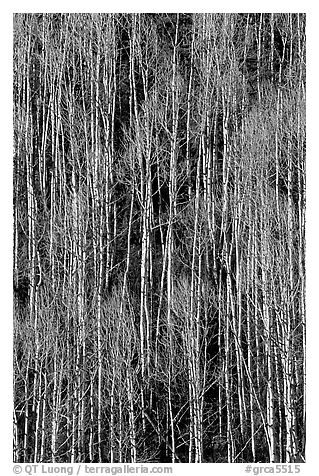 Bare aspen forest on hillside. Grand Canyon National Park (black and white)