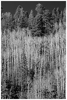 Bare aspen trees mixed with conifers on hillside. Grand Canyon National Park, Arizona, USA. (black and white)
