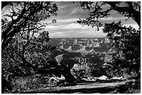 Grand Canyon framed by trees. Grand Canyon National Park ( black and white)
