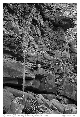 Agave stem in spring and wall of red rocks. Grand Canyon National Park (black and white)