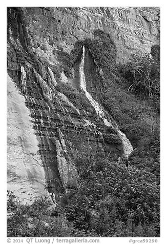 Vaseys Paradise, hanging garden with waterfalls springing out of canyon wall.. Grand Canyon National Park (black and white)