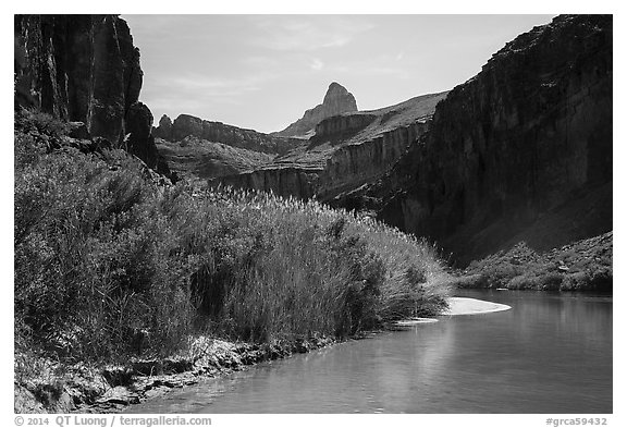 Vegetation thicket on banks of Colorado River. Grand Canyon National Park (black and white)