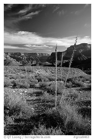 Agave flower skeletons in Surprise Valley, late afternoon. Grand Canyon National Park (black and white)