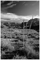 Agave flower skeletons in Surprise Valley, late afternoon. Grand Canyon National Park, Arizona, USA. (black and white)