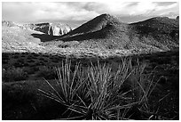 Cacti in Surprise Valley, late afternoon. Grand Canyon National Park ( black and white)