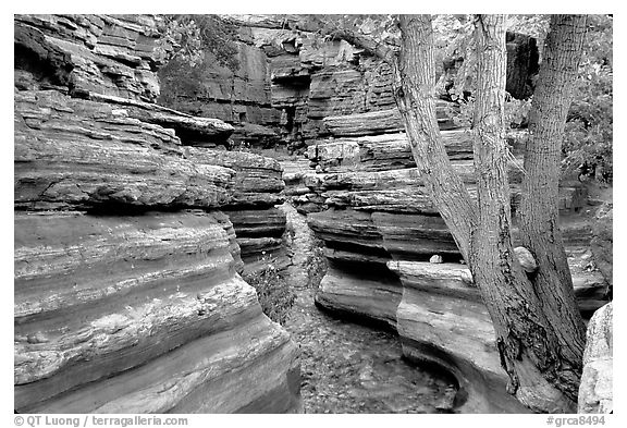 Tree and narrow canyon. Grand Canyon National Park (black and white)