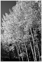 Aspens in autumn. Grand Canyon National Park, Arizona, USA. (black and white)