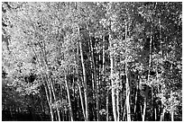 Aspens in  fall. Grand Canyon National Park ( black and white)