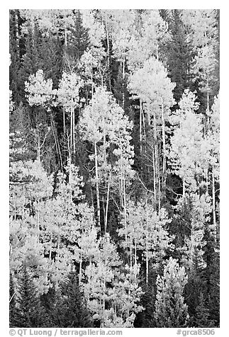 Aspens and evergeens on hillside, North Rim. Grand Canyon National Park (black and white)
