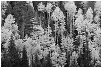 Aspens and evergreens on hillside, North Rim. Grand Canyon National Park, Arizona, USA. (black and white)