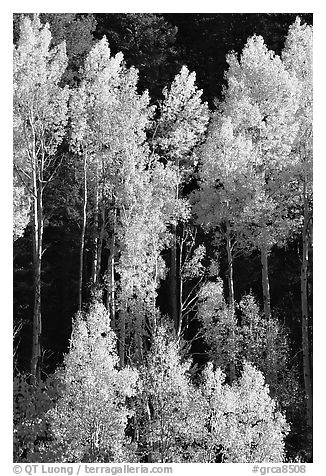 Backlit Aspens with fall foliage on hillside, North Rim. Grand Canyon National Park (black and white)
