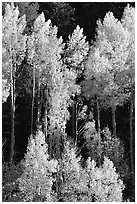 Backlit Aspens with fall foliage on hillside, North Rim. Grand Canyon National Park, Arizona, USA. (black and white)