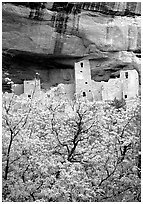 Trees with spring leaves and Cliff Palace, morning. Mesa Verde National Park, Colorado, USA. (black and white)