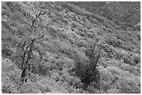 Trees and slope covered with fall colors. Mesa Verde National Park, Colorado, USA. (black and white)