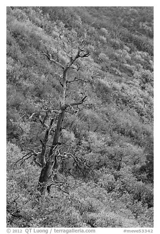 Tree skeleton and slope with shrubs in the fall. Mesa Verde National Park (black and white)