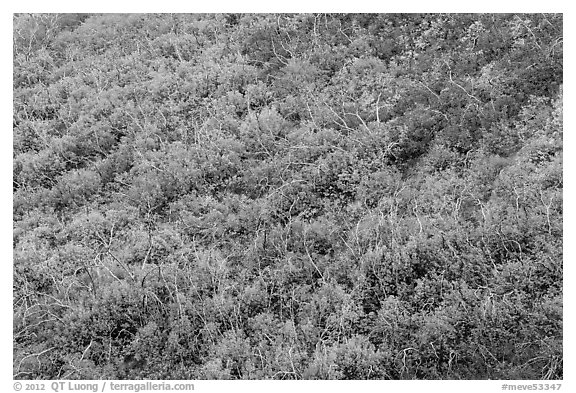 Burned area with shrubs in autumn colors. Mesa Verde National Park (black and white)
